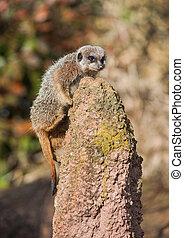 meerkat, klättrande, på, den, termitary