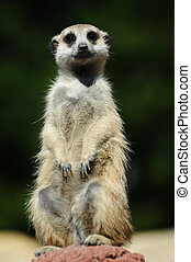 A meerkat staring at you with watchful eyes