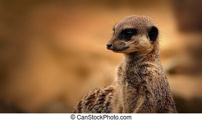 Meerkat Looking Around Closeup - Meerkat standing on rock...