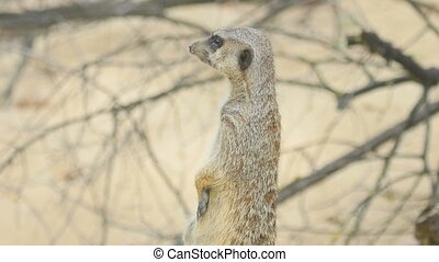 Meerkat looking out for danger and ready to signal an alarm,...