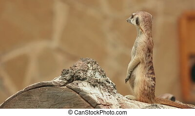 Meerkat looking out for danger and ready to signal an alarm.