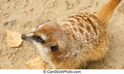 Meerkat looking to camera, close-up