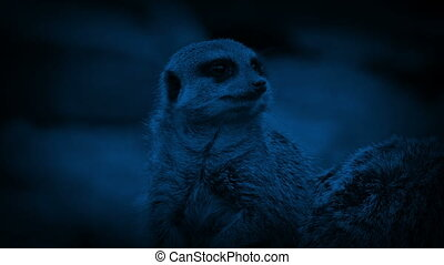 Meerkat Looks Around Rocky Area In The Dark