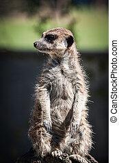 Meerkat, Meercat (Surikate) standing upright as Sentry -...