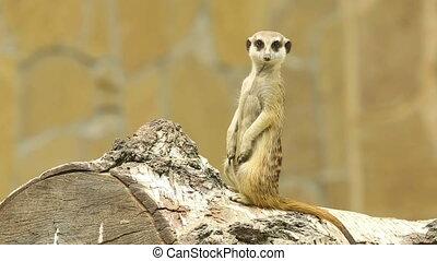 Meerkat. - Meerkat standing on the log.
