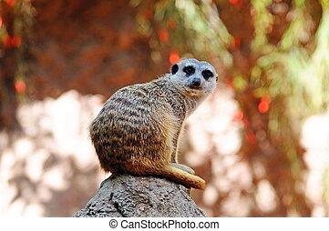 Meerkat on a rock.