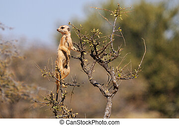 The meerkat or suricate, Suricata suricatta, is a small mammal belonging to the mongoose family. This photo was taken in the Mokala National Park, Northern Cape, South Africa