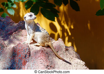 Meerkat on rock, Suricata suricatta. Brown background. -...