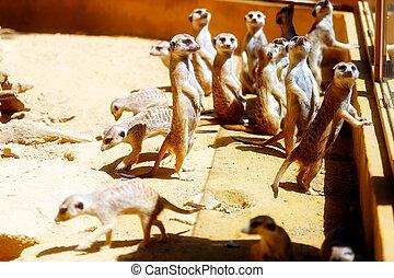 Meerkat on sand, Suricata suricatta. Brown color. - Meerkat...