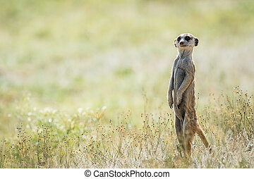 Meerkat on the look out in the Kalagadi Transfrontier Park, South Africa.