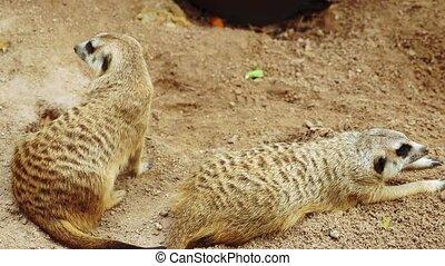 Meerkat or Suricate in the zoo aviary.