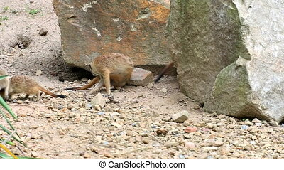 Meerkat or suricate (lat Suricata suricatta). Small...