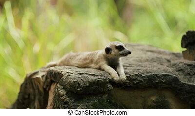 Meerkat (or suricate, Suricata suricatta) sits on a stone in...