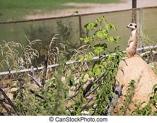 meerkat or suricate (Suricata, suricatta), a small mammal, is a member of the mongoose family