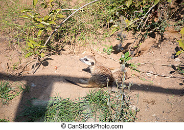 meerkat or suricate (Suricata, suricatta), a small mammal, is a member of the mongoose family