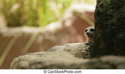 Meerkat (or suricate, Suricata suricatta) sits on a stone in enclosure and sniffing. Bangkok, Thailand.
