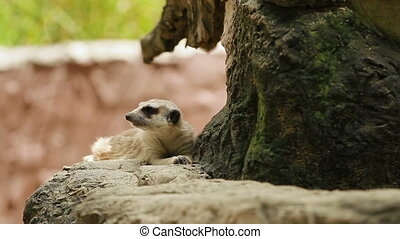Meerkat or suricate, Suricata suricatta sits on a stone in enclosure and sniffing. Bangkok, Thailand.