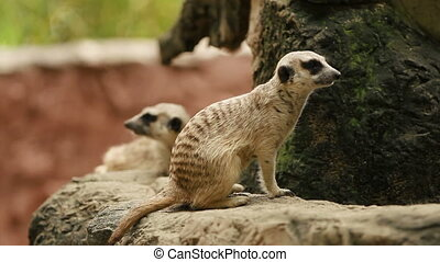Meerkat or suricate, Suricata suricatta sitting in enclosure and sniffing. Bangkok, Thailand.