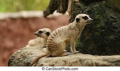Meerkat or suricate, Suricata suricatta sitting in enclosure...