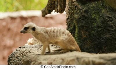Meerkat (or suricate, Suricata suricatta) sitting in...