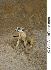 Meerkat out of his burrow - A Meerkat sits just outside of ...