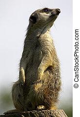 meerkat, på, pligt