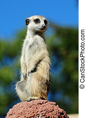 A meerkat portrait against blue sky background