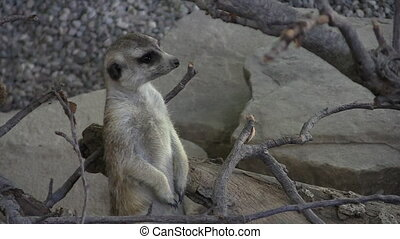Cute young meerkat acting as sentry, standing tall and looking around. Space on right for text or graphics.