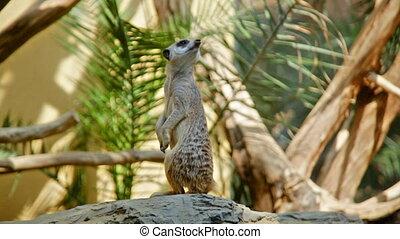 meerkat sits on sand - Meerkat (Surikate) standing upright