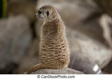 meerkat sitting on a rock
