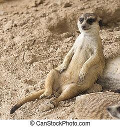 Meerkat sitting on the sand