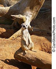 Meerkat sitting on the wooden log