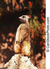 Meerkat standing on a rock.