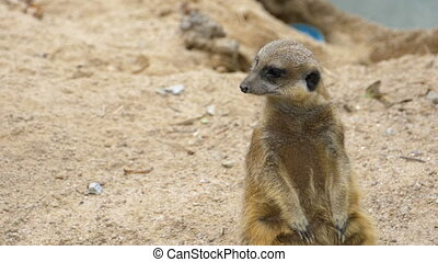 Meerkat Stands on Two Legs and Looking out for Danger....