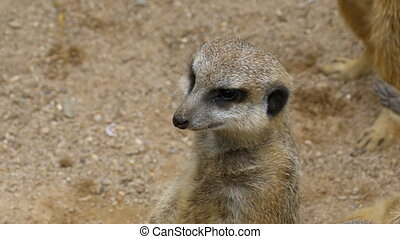 Meerkat Stands on Two Legs and Looking out for...