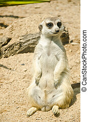 Meerkat found in  Zoo, Thailand