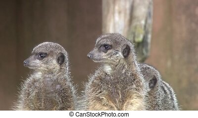 Meerkat - close up of Meerkats
