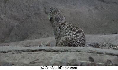 Meerkat (Suricata suricatta) cleans himself. - Meerkat...