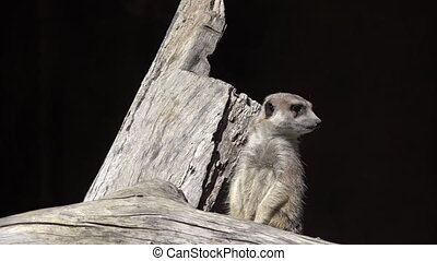 Meerkat (Suricata suricatta) on alert. Meerkat is a small...