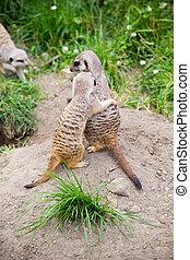 meerkat, suricata, suricatta, ook, bekend, als, de, suricate., fauna, animal.