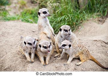 meerkat, suricata, suricatta, también, conocido, como, el, suricate., fauna, animal.