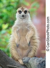 Meerkat (Suricate) found in Zoo, thailand