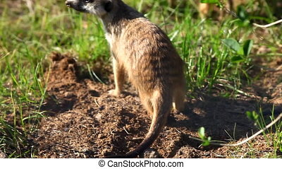 Meerkat - suricate on sunset - Suricate - meerkat on grass