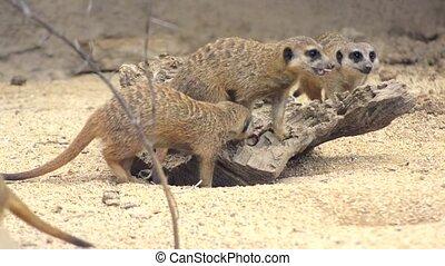 meerkat - suricate, small mammal in its habitat