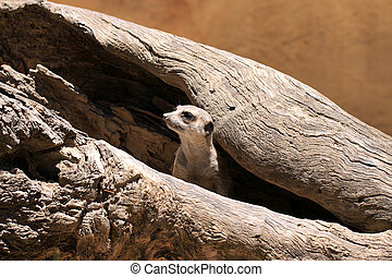 Meerkat Suricate - Suricata Suricatta - keeping watch from...