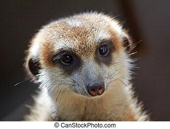 Meerkat Suricate Suricata Suricatta Small Mammal from Kalahari Desert in Botsawana Nambia