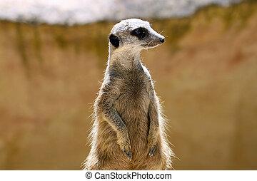 Meerkat (Surikate) standing upright as Sentry - Suricata...