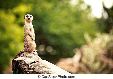 Meerkat (Surikate) found in Melbourne Zoo, Australia