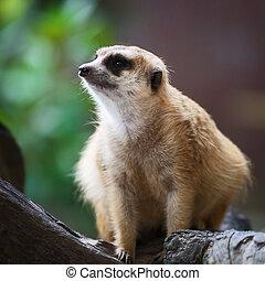 Meerkat surveillance dangerous.