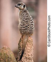 meerkat, vändning, hans, huvud och, sittande, på, den, termitary